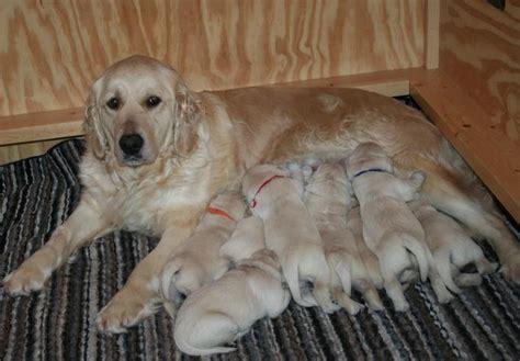 wisconsin golden retriever breeders golden retriever puppies in wisconsin