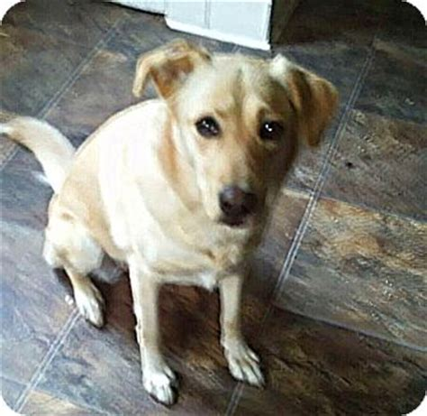 golden retriever mix puppies ohio columbus oh golden retriever labrador retriever mix meet honeycomb a for adoption