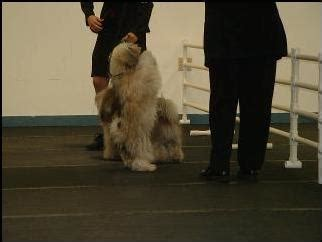 can havanese be left alone amoritas havanese come see our show and companion puppies