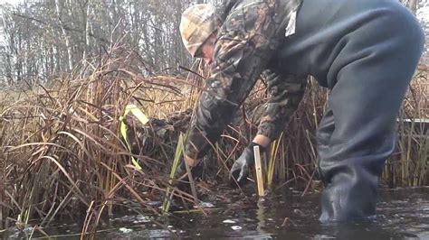 open conibear trap best muskrat trapping video open water bonus beavers