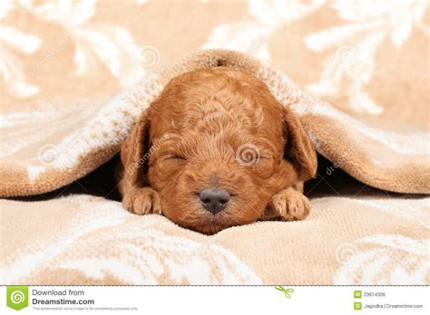puppy second poodle puppy second week sleep royalty free stock image image 23614306