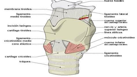 vestibulo laringeo glotis enfermeriauq la laringe por mauricio a mora