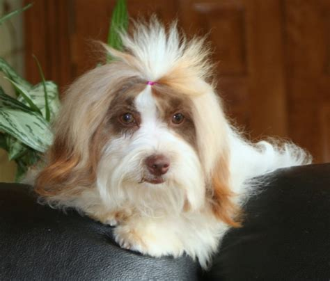 havanese kennel the havanese breeds picture