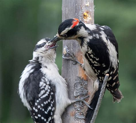 downy woodpecker nest