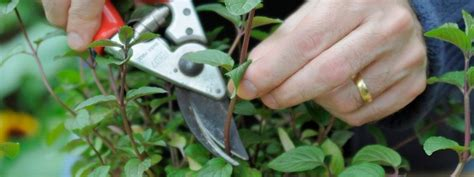 vegetative propagation  stem cutting greenmylife