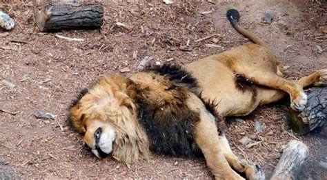 imagenes de leones muertos warning graphic images two lions shot dead after mauling