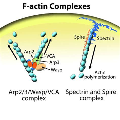 protein f aktin assays for actin binding proteins cofilin profilin arp2
