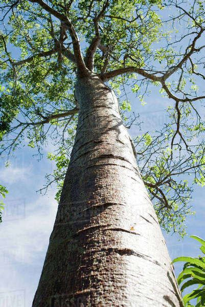 tall tree  angle view stock photo dissolve