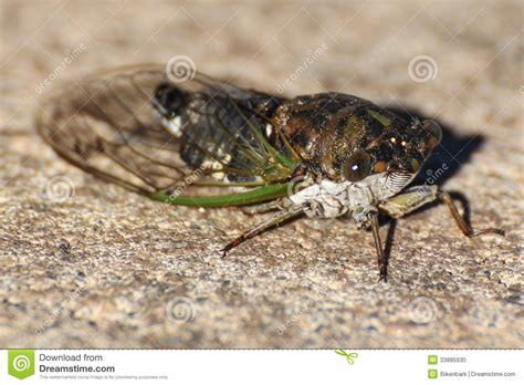 bug xl reguler 1gb cicada stock photo image 33885930