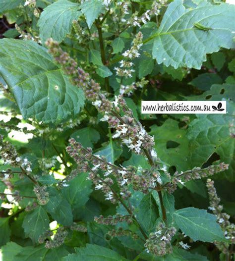 pogostemon cablin patchouli plant herbalistics