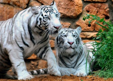 White Tiger L by Tiger Sur Topsy One