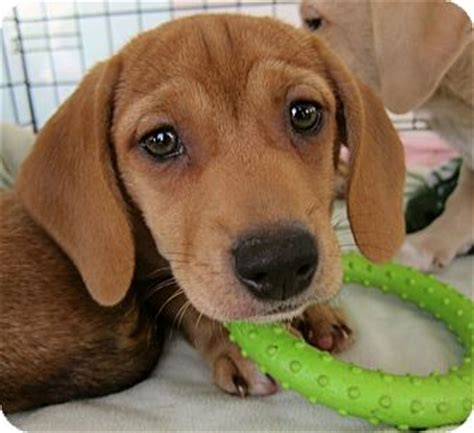 yorkies for sale richmond va dachshund puppies mix merry photo
