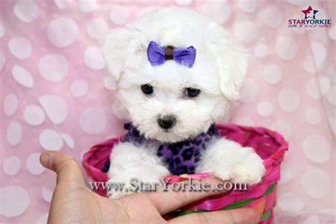 yorkies for cheap in new york teacup pigs for adoption quotes quotes quotes