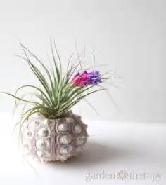 air plants how to keep air plants alive and healthy they might even bloom garden therapy