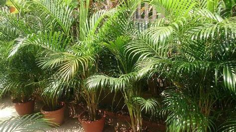 are trees toxic to cats are spider plants poisonous to cats 11 detoxifying