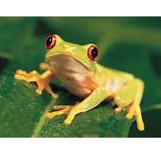 Animals Colorful Red Eyed Tree Frog Picture Nr 39896