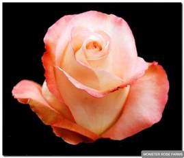All Types Of Flowers With Pictures - peach aubade monster rose farm