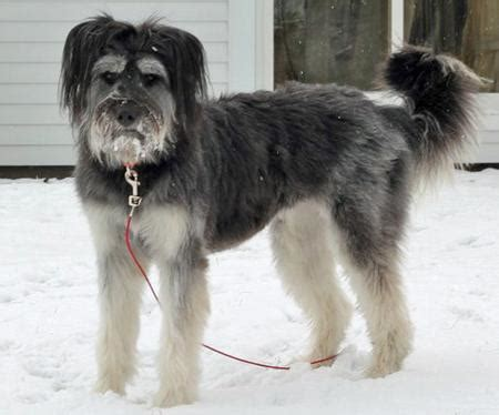 briard mix these briards are the poster pups for being mischeivous