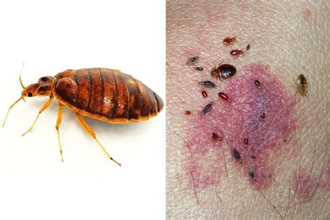 when do bed bugs come out what time do bed bugs come out 28 images q based customer care bed bugs eguide