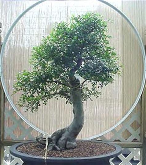 Bakalan Bonsai Ulmus Grouping bunch of random bonsai pix