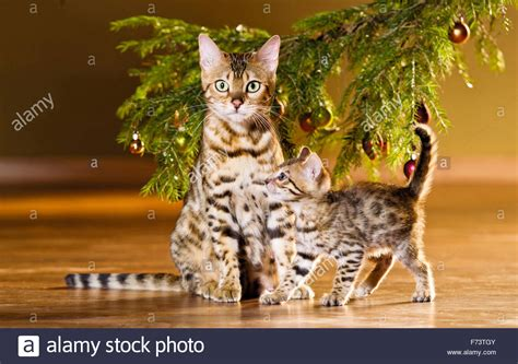 bengal cat mother with kitten under a christmas tree