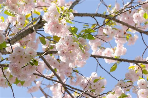 cherry tree ornamental flowering cherry trees grow an ornamental cherry blossom tree garden design