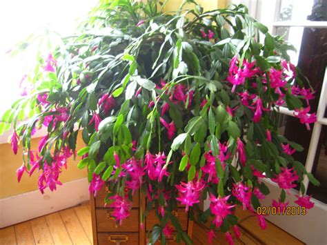 how much darkness do christmas cactus need 187 earth plants myth busting