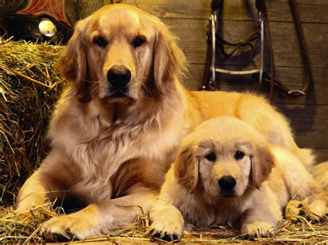golden retriever standards golden retriever breed standards