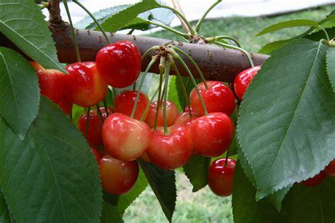 1 cherry tree cherry tree rainier restoring
