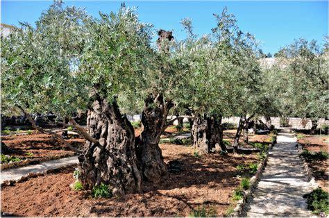 der garten der garten gethsemane in jerusalem foto bild