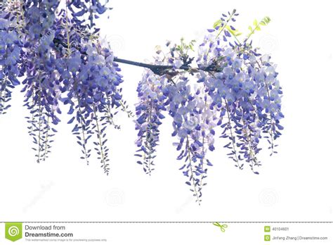 wistaria flower stock image image of branch vine