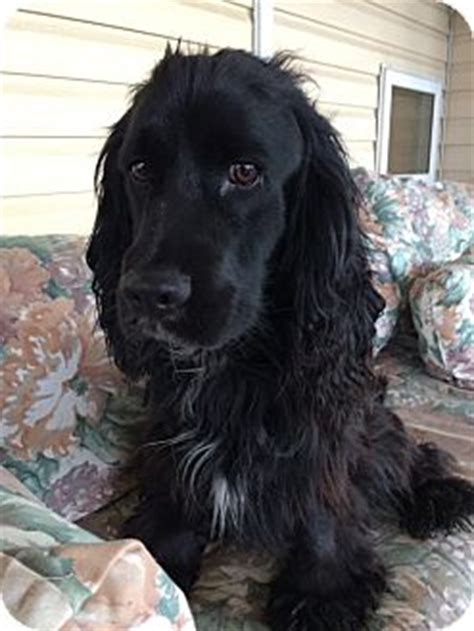 black cocker spaniel golden retriever mix ogden ut golden retriever cocker spaniel mix meet winston a for adoption