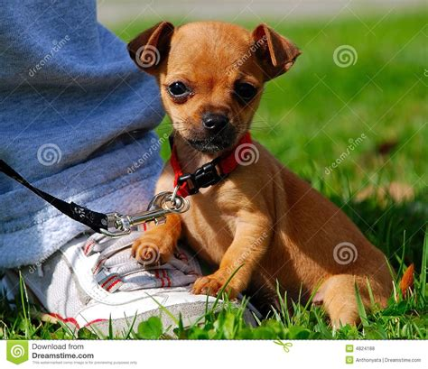 free teacup chihuahua puppies teacup chihuahua 2 royalty free stock photos image 4824188