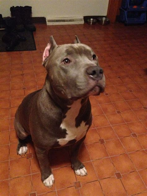 gotti puppies best 25 gotti pitbull ideas on bully pitbull american pitbull and who is