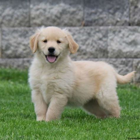 golden retrievers in pa golden retriever puppies for sale greenfield puppies