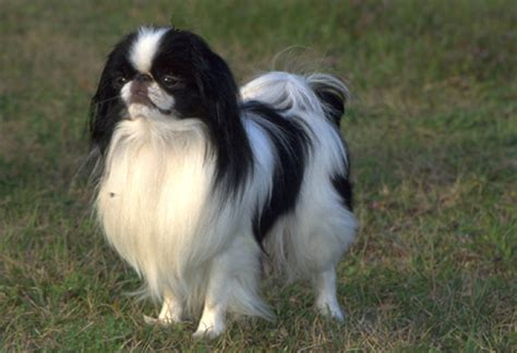 japanese chin japanese chin american kennel club