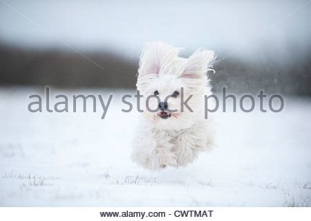 havanese jumping white havanese running and jumping in the forest in stock photo royalty