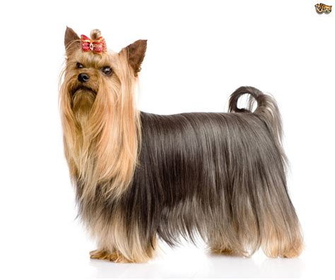 yorkie silky terrier for sale yorkie a silky terrier the differences in the breeds pets4homes