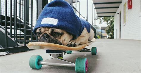 pug skateboard doug the pug isn t sure if he s a pup or person