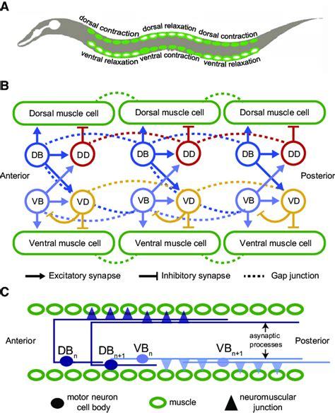 schematic diagram   motor circuit   elegans