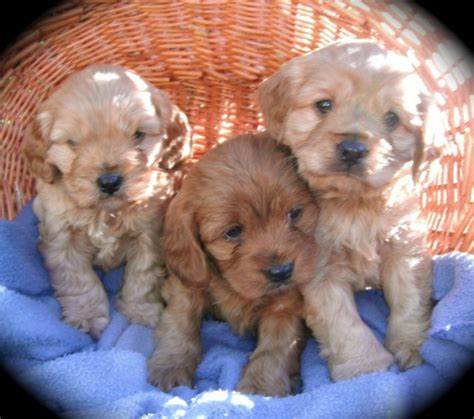 cavoodle puppies cavoodle puppies the cutest animals