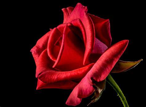 aneka gambar bunga mawar merah yang indah