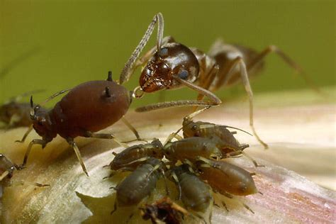 do ants eat aphids ants corral and tranquilize aphids victims