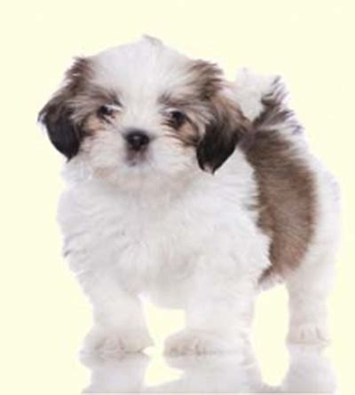 snorkie puppies white shorkie puppies www pixshark images galleries with a bite