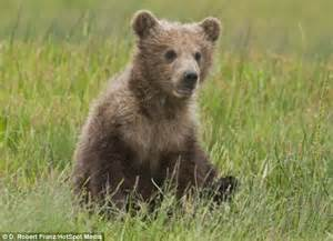 adorable brown bear cub mother scratching lake clark national park daily