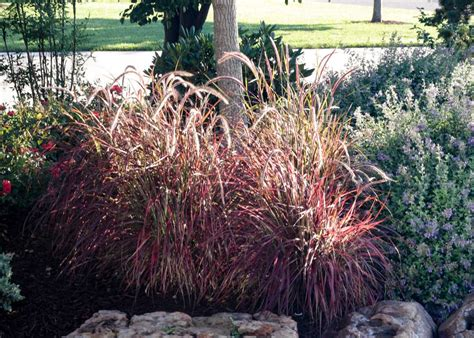 fountain grass purple tree top nursery landscape inc