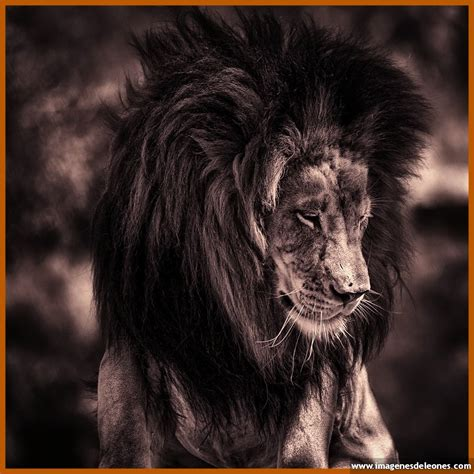 imagenes de leones viejos imagenes de leones rugiendo archivos imagenes de leones