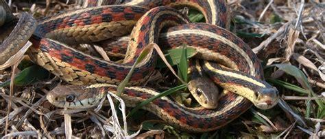 Garter Snake Urine Creature Courtship Chicago Tonight Wttw