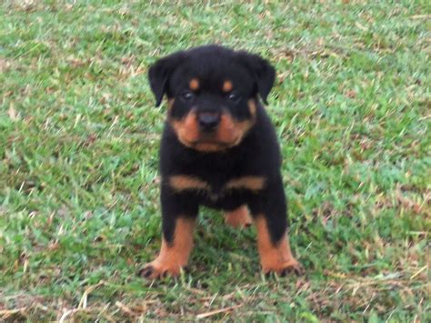 rottweiler puppies malaysia parkview ch rottweiler breeders malaysia for sale at ipoh perak malaysia