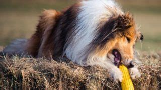 can dogs eat cornbread care essential tips health care home remedies organic facts